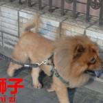 萌。上海で見かけたお散歩ライオン。ライオン【狮子】