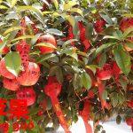 日本ではあり得ない!?アノ果物で成就祈願。リンゴ【苹果】