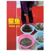 中国語でカブトガニ