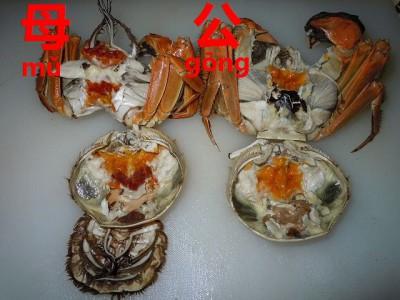 上海蟹のオスとメス