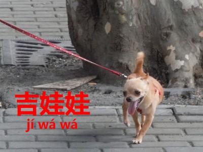 中国のチワワ