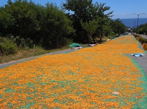 道路で干される金針花