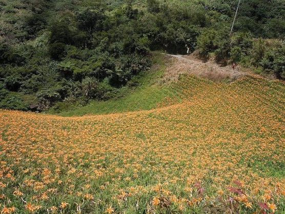 山肌に咲く金針花