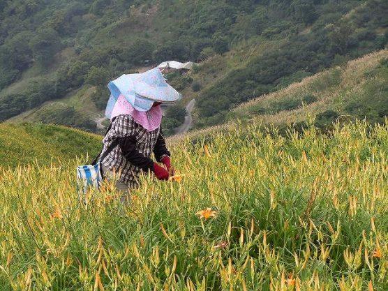 花を摘む台湾人
